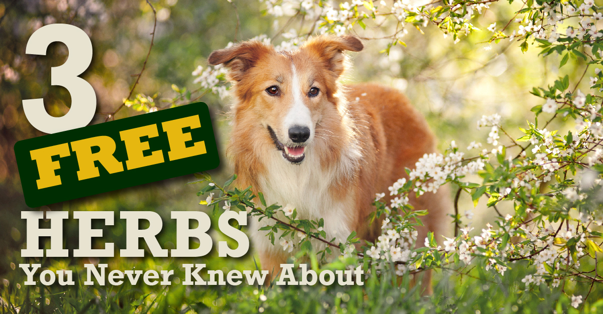 3 Free Herbs You Never Knew About!