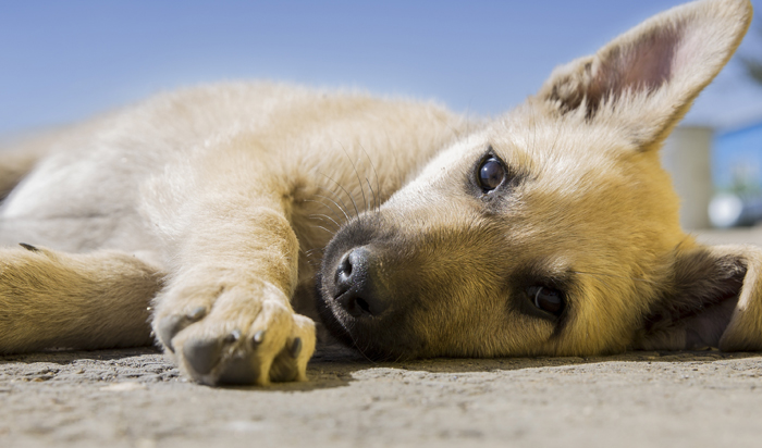 Vaccination Guidelines – Puppy